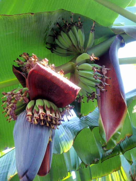Banana blossoms