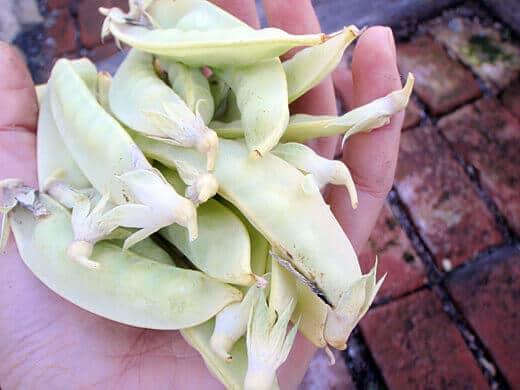 Golden Sweet snow peas