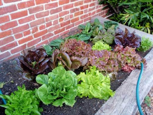 Spring lettuce bed