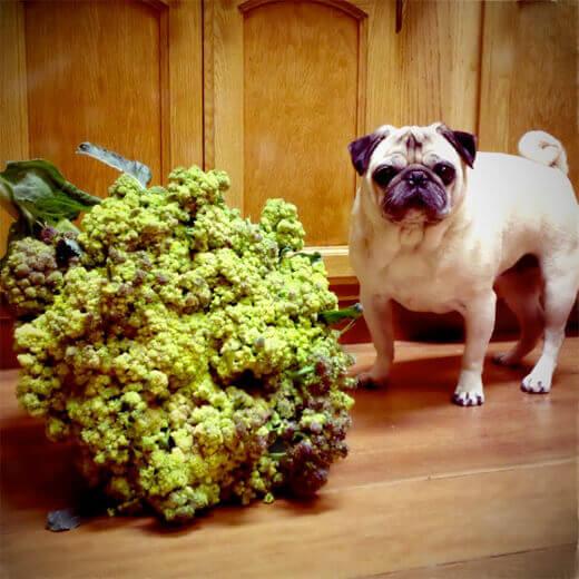 Romaneso Broccoli and pug