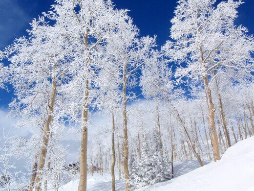 Snow-covered aspen trees