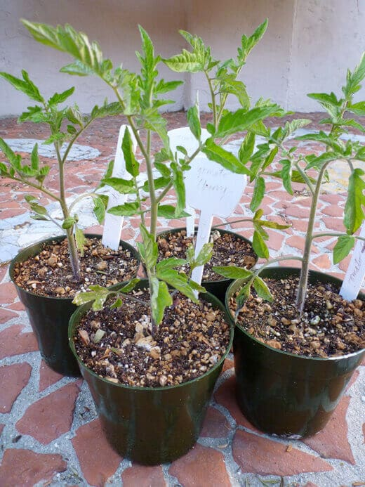 Tomato plants at 2 months old