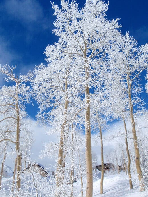 Snow-covered aspens