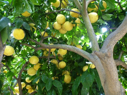 Picking grapefruits from my tree