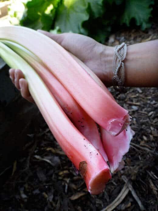 Garden-fresh rhubarb