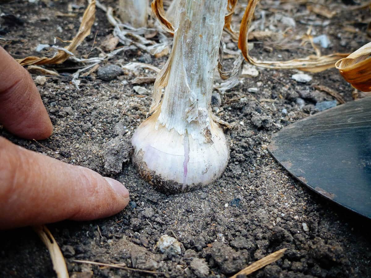 Check garlic bulb for good development