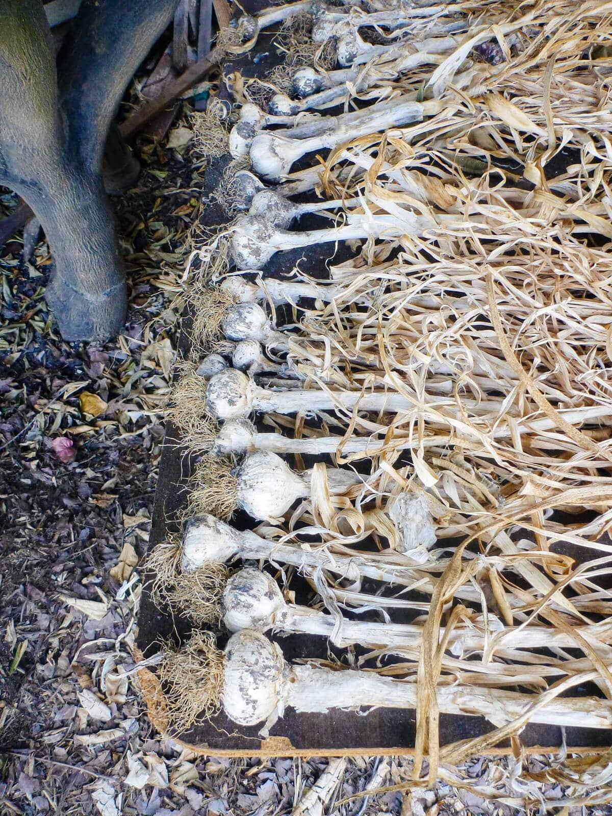 Garlic harvest being cured under a shady tree