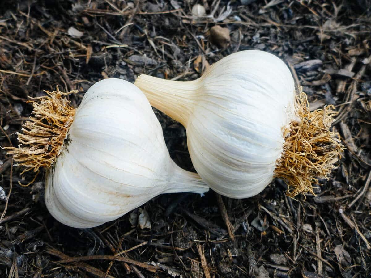 Beautiful garlic bulbs set aside for seed garlic