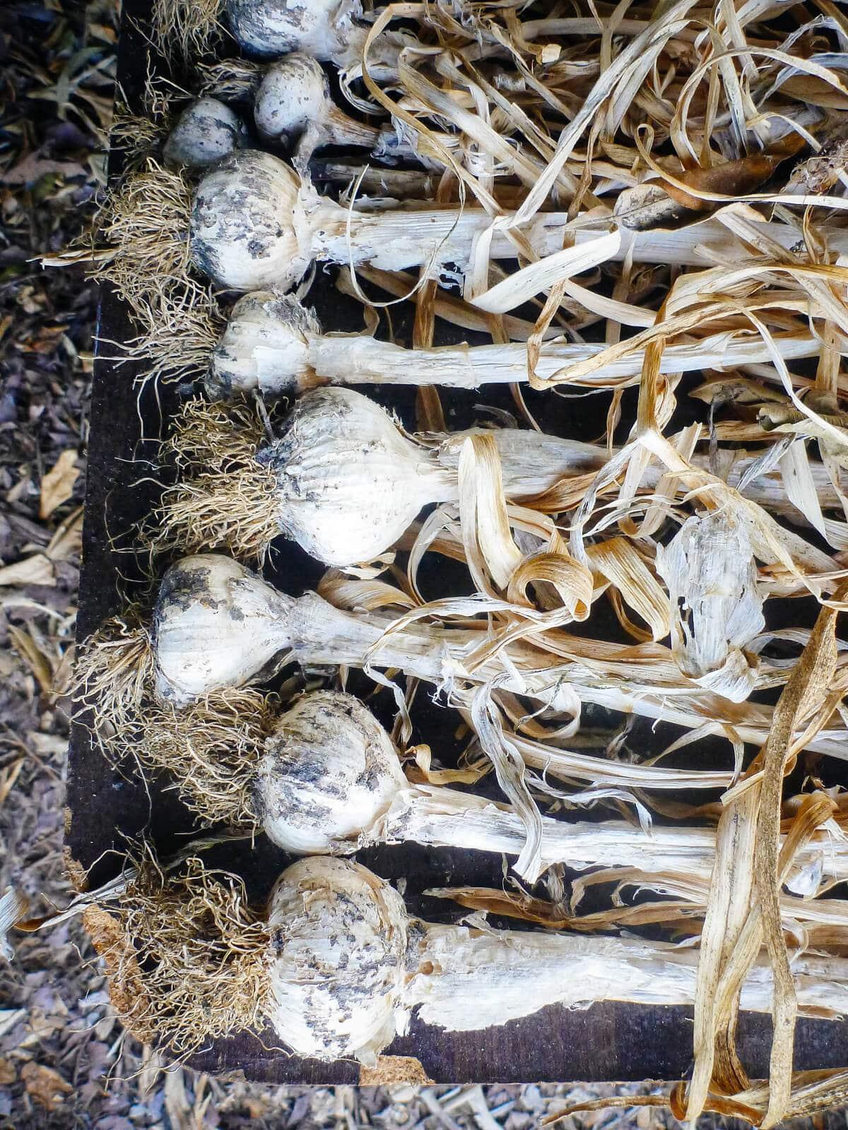 Garlic harvest being dried in preparation for storage