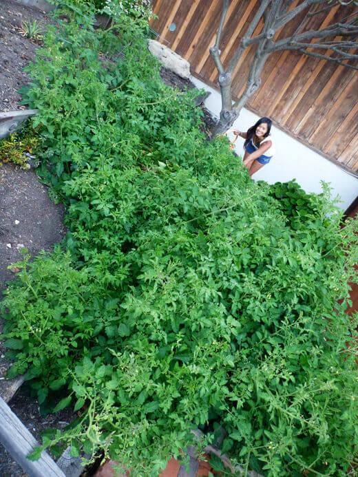 My rogue tomato plants