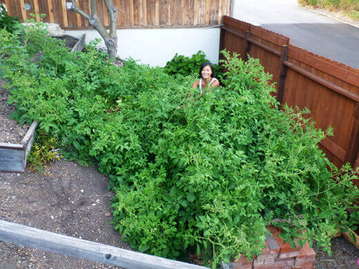 Foraging for tomatoes