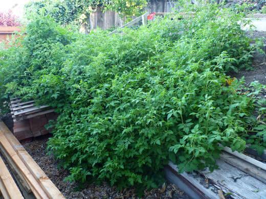 Vigorous tomato vines