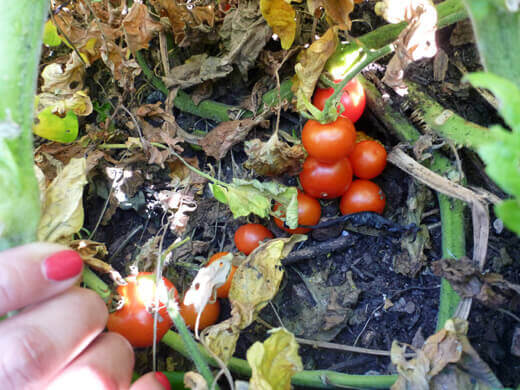 Ripe cherry tomatoes wallowing in the dirt