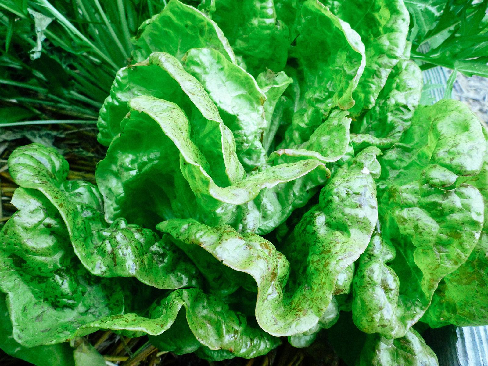 Butterhead Speckles lettuce
