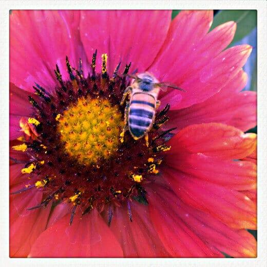 A humble honeybee at work