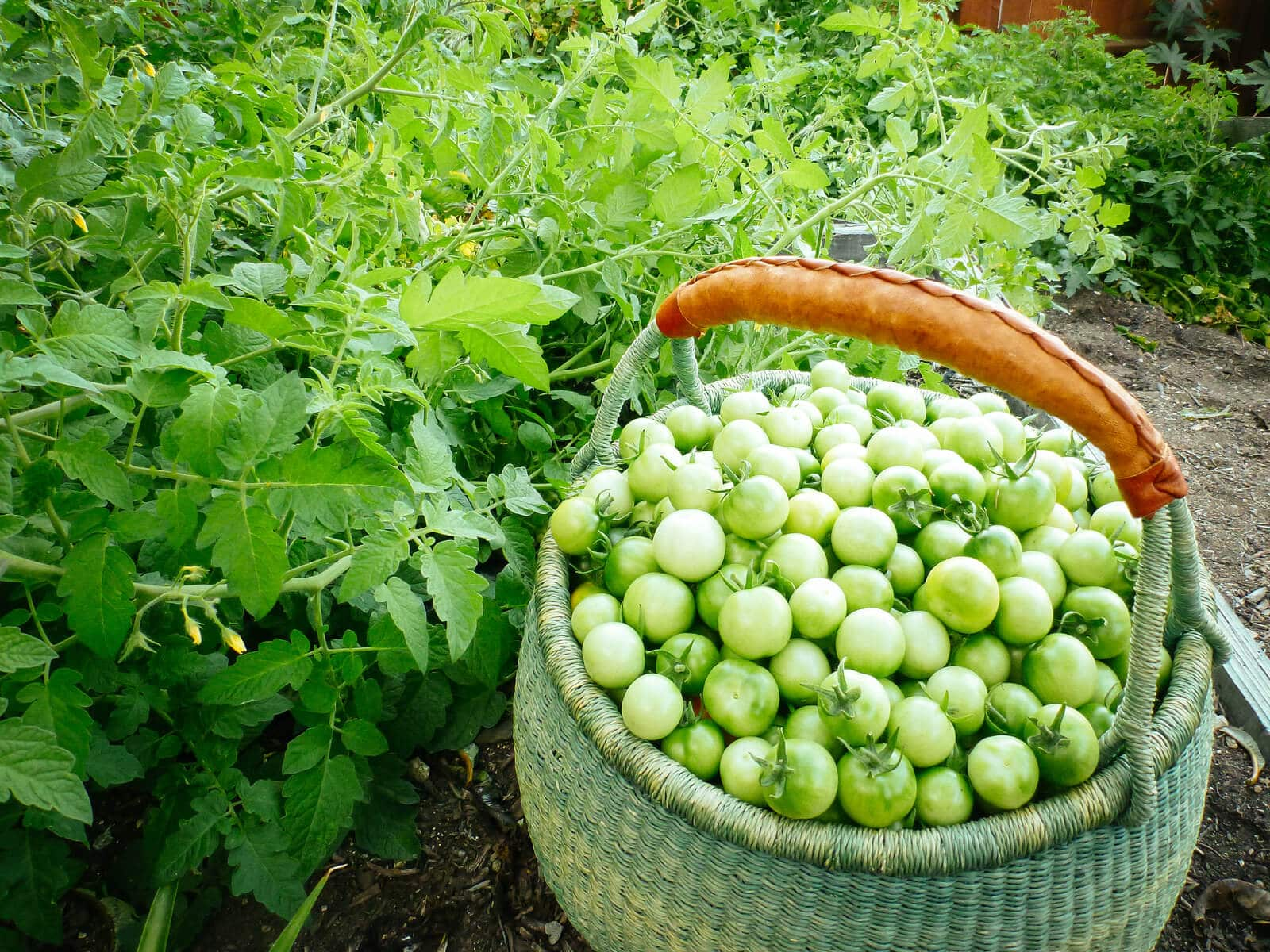 Wash and dry your green tomatoes