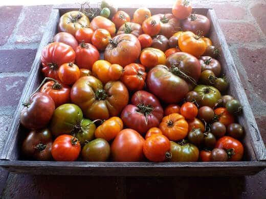 Harvest of bold and beautiful heirloom tomatoes
