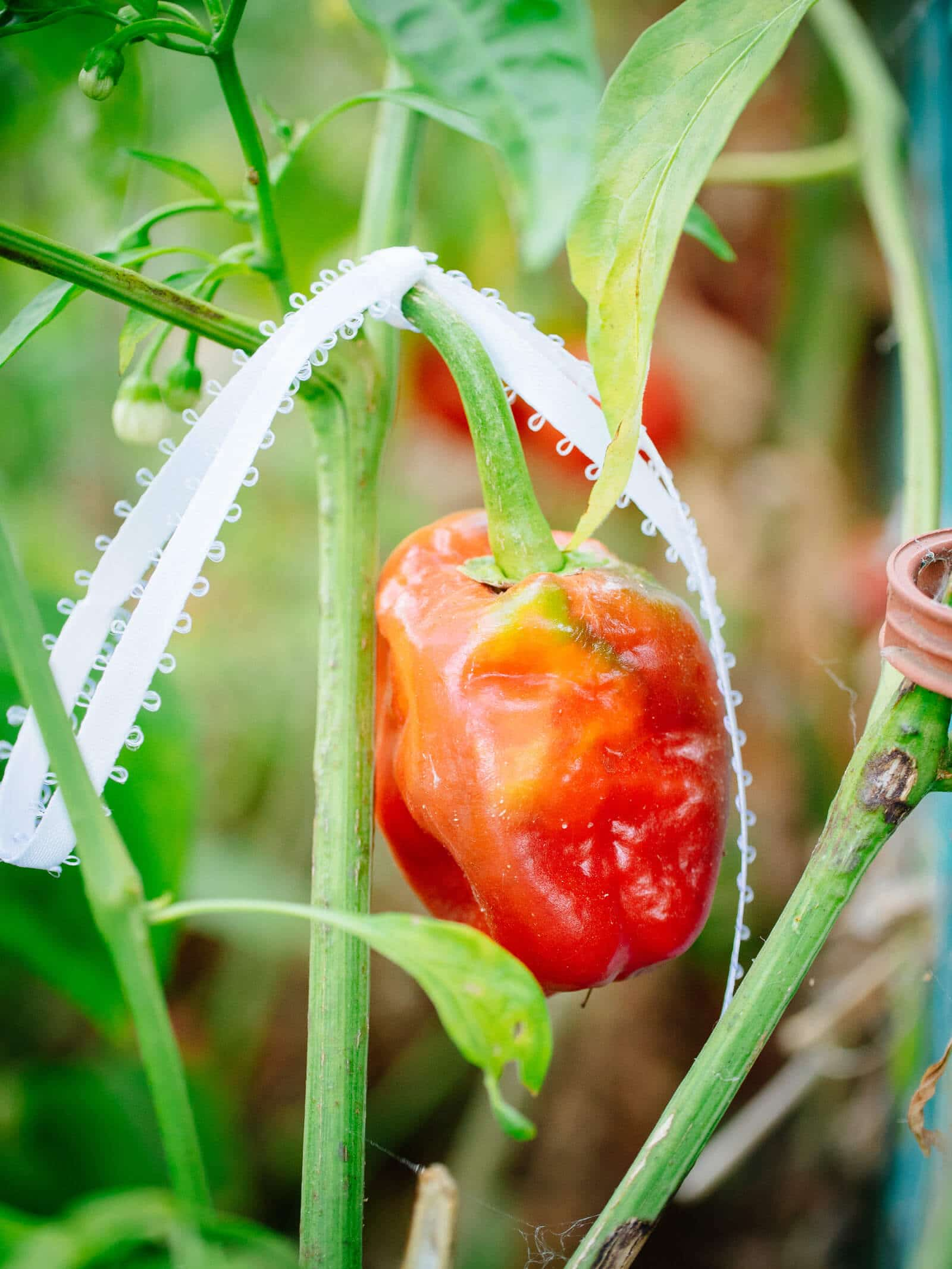 Marking the perfect pepper for seed saving