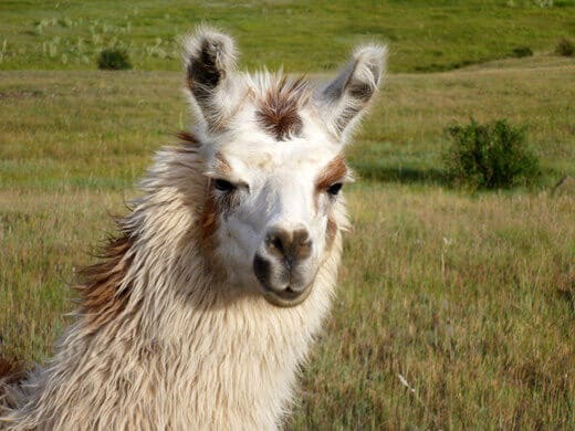 Llama in Pagosa Springs