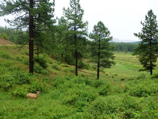 Deer in Pagosa Springs