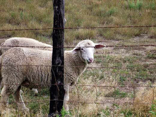 Sheep in Pagosa Springs