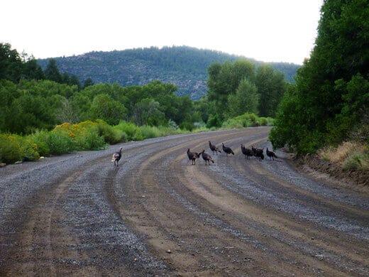 Wild turkeys in Pagosa Springs