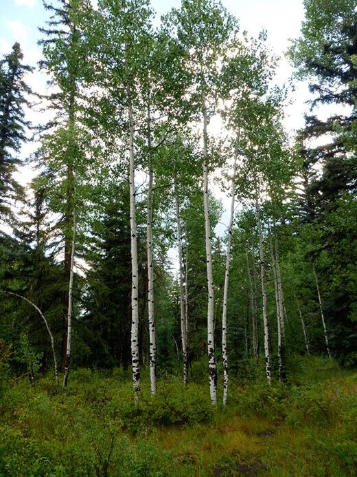 Grove of quaking aspen trees