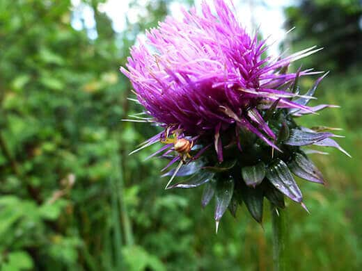 Wild thistle and spider