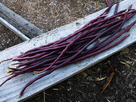 Chinese Red Noodle yardlong beans