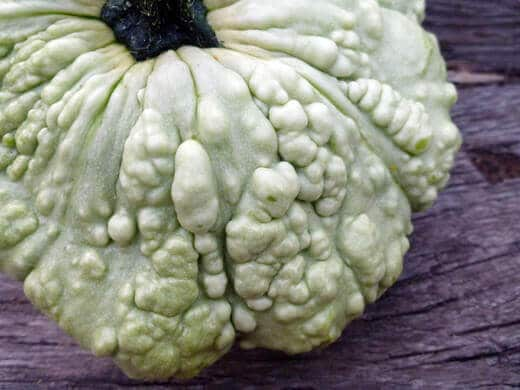 Warty French scallop squash