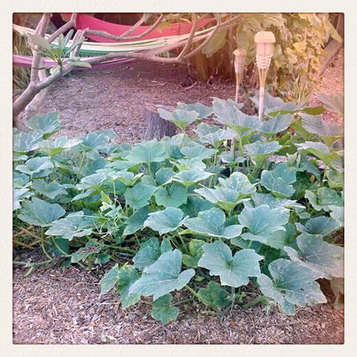Zucchino Rampicante