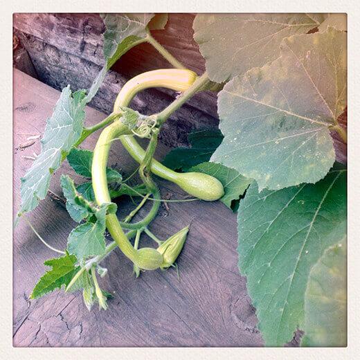 Baby Zucchino Rampicante