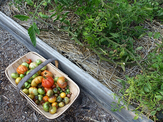 The last tomatoes and tomato plants