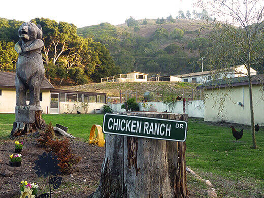 A truly free-range chicken farm
