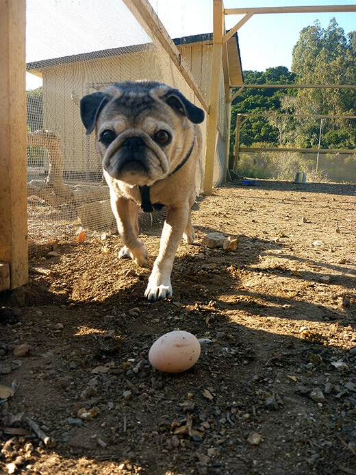 Our pug roaming the chicken farm