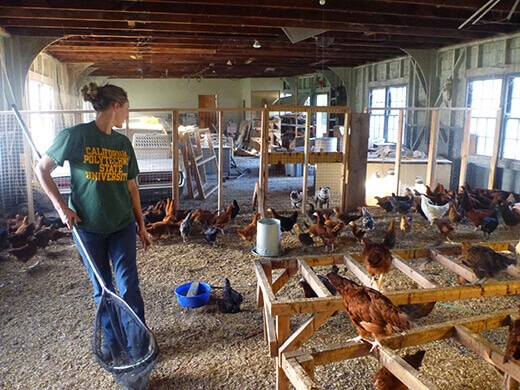 Choosing our pullets