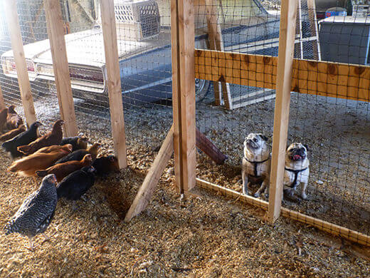 Pugs waiting outside the pullet pen