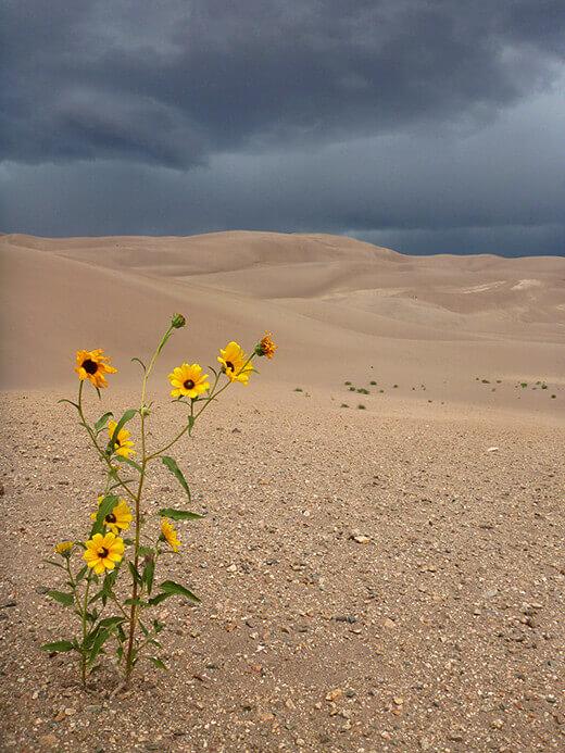 Desert sunflower in the dunes