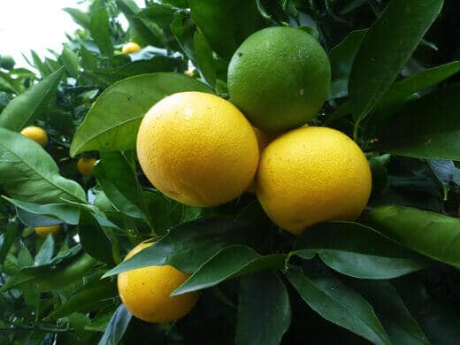 Valencia oranges in various stages of ripeness