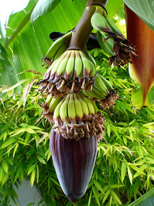 Banana flowers forming into fruit
