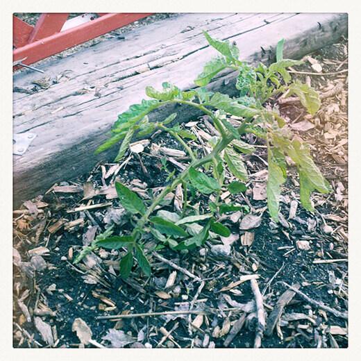 Winter tomato plant finally thriving in uncommon heat