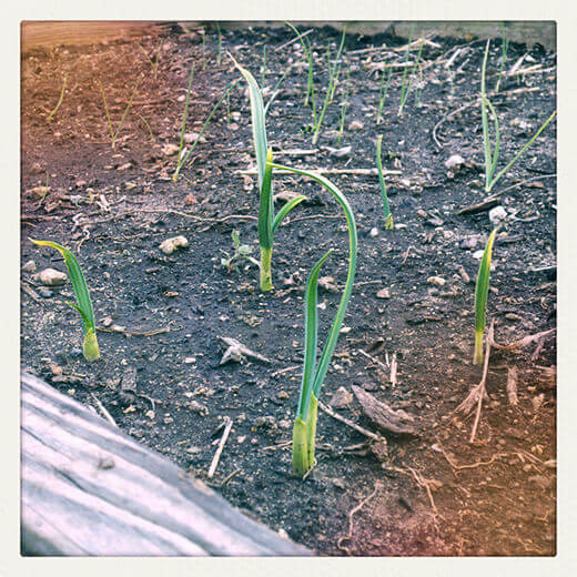 Onions and garlic starting to sprout