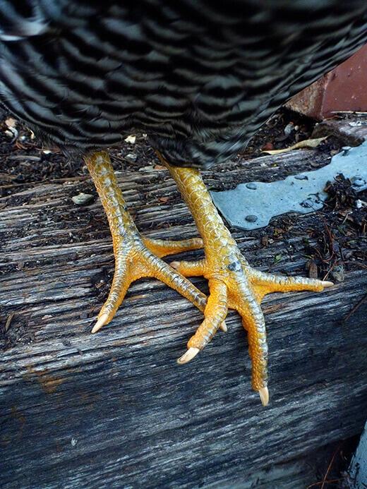 Yellow chicken feet