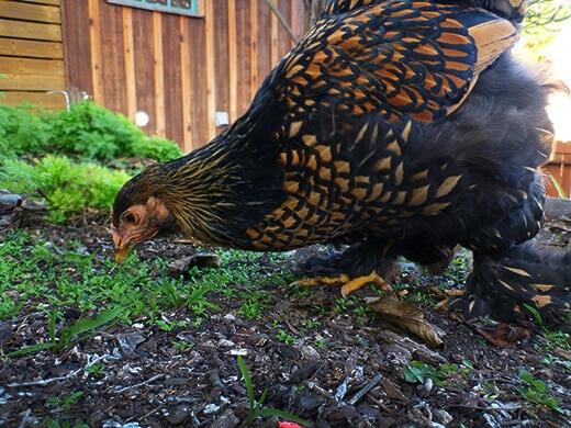 Iman foraging in the backyard