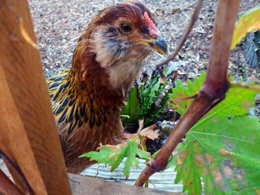 Gisele free-ranging in the backyard