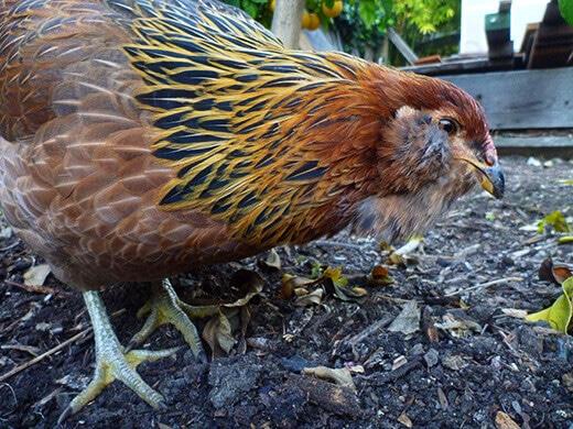 Gisele foraging in the backyard