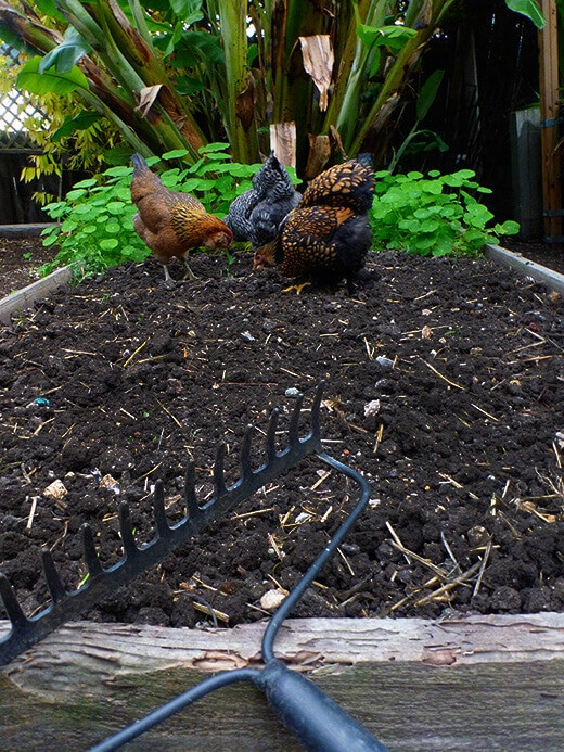 Sowing a bed of cover crops for chicken grazing