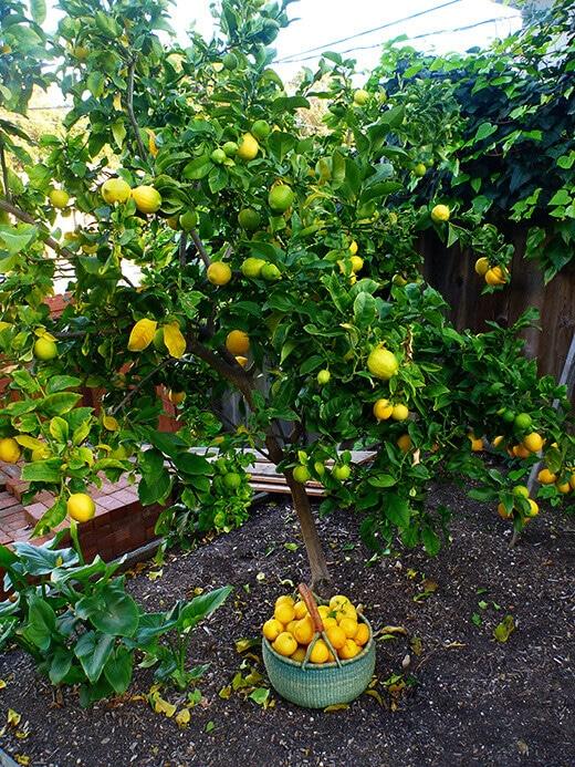 Lemon Harvest Garden Betty