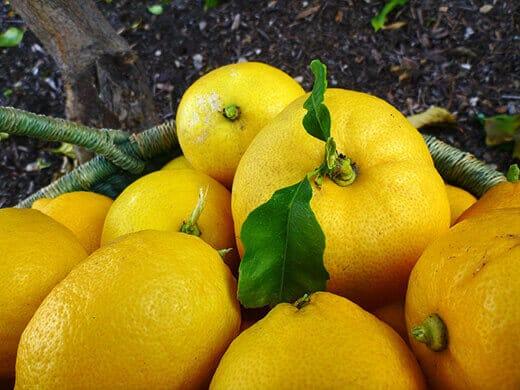 Winter lemon harvest
