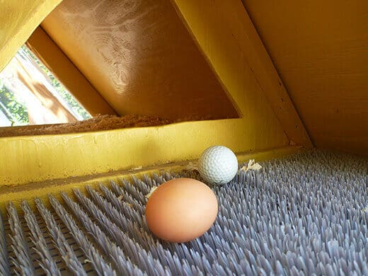 Freshly laid brown egg